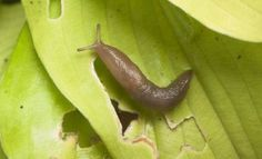 How to get rid of garden slugs? Slugs are the most despicable aspect of numerous gardeners presence; the slippery little gastropods crawl in around ev...
