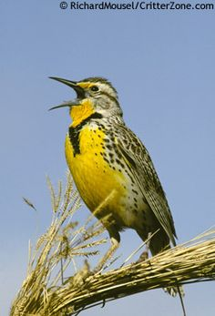 Western Meadowlark - Kansas, Montana, Nebraska, North Dakota, Oregon, Wyoming state bird