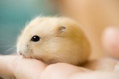 """baby pudding hamsters' coats. Someone said, 'they look like they are made of sunshine and happiness.""""  :)"""
