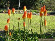 Kniphofia praecox - Red hot poker  Frost hardy  Orange - yellow flowers in winter  sun to semi shade  water