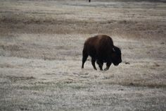 Yearling bison at Bear River State Park. The only calf from 2014.
