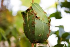 Weaver ants building nest from mango leaves. Structural Biology, Ant Colony, Insect Art, Best Artist, Science Nature, Animal Kingdom, Best Funny Pictures, Plant Leaves