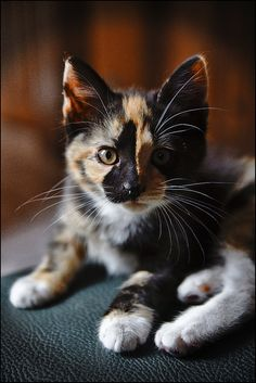 "This tortoise calico kitten looks exactly like one with whom I shared life for 18 years, named ""Marble.""  No secret why that name!"