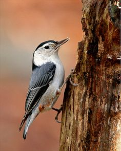 White-breasted-Nuthatch-10