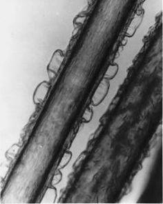 Efeito do cloro nos fios de cabelo. Fonte: desconhecida
