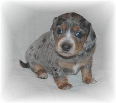Baby Eros, 4-weeks-old     ♥♥♥♥♥♥ dauchshund dauchshunds weenier weeniers weenie weenies hot dog hotdogs doxie doxies ♥♥♥♥♥♥