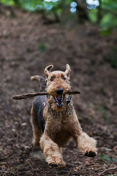 Lady Bente - The BEST Airedale blog out there. Hands down. In German. Has Google Translator bar on top.