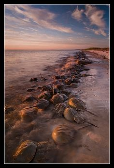 great horseshoe crab spawn, Kimball Beach, Cape May, New Jersey.  Photo: Joseph Rossbach via Flickr