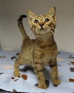 09/07/2016 KITTEN ALERT ADOPT Mercy in Texas, young 8 week old female kitten, to be destroyed. Please contact the shelter for more details and how to adopt.