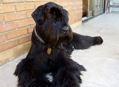 Lovely giant schnauzer ♥ Until you see them in person you just don't know how beautiful these giants are!