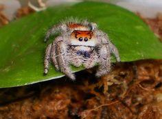 female phidippus regius Beautiful Bugs, Most Beautiful Animals, Colorful Animals, Cute Animals, Jumping Spider, Color Effect, Animals Of The World, Pet Birds, Animal Themes