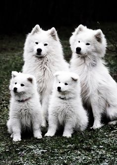 samoyed family. oh.....my......GOD.  Sorry guys, Ill stop pinning these...maybe