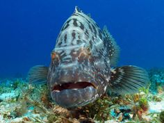 Groupers are like underwater dogs....but not as cute.