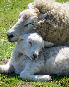 391 best sheep and lambs images on pinterest sheep lamb and