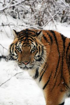 Nemacolin Woodlands Resort's Wildlife Academy is open year round for guests to enjoy dog sleds, safari tours and wildlife habitats. So after you finish hitting the slopes on Mystic Mountain, head on over to the Wildlife Academy to try and catch a glimpse of Keira, Nemacolin's Bengal Tiger. #PASnowDays