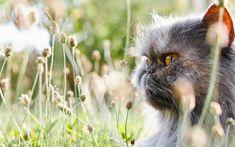 Download wallpapers Persian Cat, kitten, fluffy cat, pets, gray cat, domestic cats, gray persian kitten, Persian, cats
