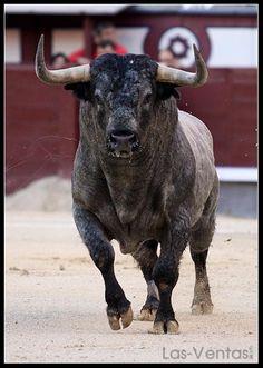 Comenzamos la semana con una fotografía de un imponente toro de... ¿Adivináis la ganadería?¡Buenos días!