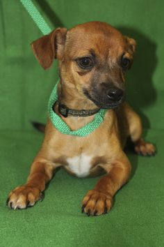 Forest, an adoptable Chihuahua mix in Broomfield, CO! www.muttsavers.org
