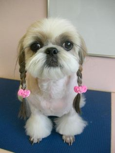 Cute shih tzu! Muffy wants to let her hair grow out that she can look like this.