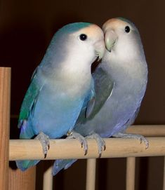 sweet lovebirds
