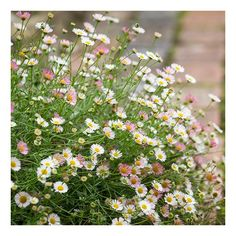 Erigeron karvinskianus is perfect for filling all the nooks and crannies in your garden with pretty white posies. Roof Garden Plants, Garden Trellis, Garden Roses, Back Gardens, Outdoor Gardens, All About Plants, Deer Resistant Plants, Drought Tolerant Landscape, Coastal Gardens