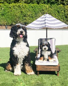 What is a Bernedoodle — Highfalutin Furry Babies Cute Little Puppies, Cute Puppies, Cute Dogs, Dogs And Kids, I Love Dogs, Animals And Pets, Cute Animals, Baby Animals, Bernedoodle Puppy