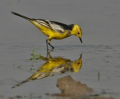 Citrine Wagtail (Motacilla citreola)- Breeding Male of calcarata race at Bharatpur I IMG Australian Birds, Central Asia, Bird Watching, Bird Feathers, Beautiful Birds, Habitats, Cool Pictures, Animals, Conference