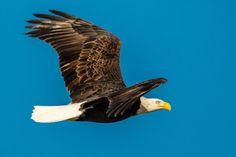 majestic bald eagle in flight Eagle In Flight, Bald Eagle, Lens, Wildlife, Boat, Shoulder, Image, Dinghy, Boats