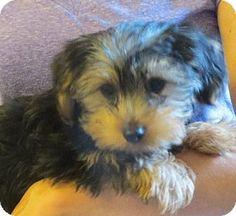 Rochester, NY Beagle/Bluetick Coonhound Mix. Meet Tessa