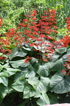 Giant Salvia, Japanese Glorybower, Red Glorybower - Hummingbird Plants - Almost Eden Traditional Greenhouses, Acid Loving Plants, Hummingbird Plants, Organic Mulch, Seed Germination, Soil Improvement, Weed Seeds, Greenhouse Gardening, Types Of Soil