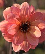 Dahlia Classic Poeme, blomsterverden.dk