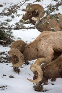 Bighorn rams, Yellowstone National Park. Wyoming