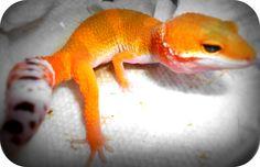 Darby, one of my leopard geckos <3
