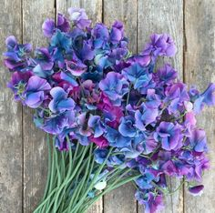 These sweet peas called 'Blue Shift' turn from violet to turquoise as it ages, Floret Flowers says. Absolutely stunning!