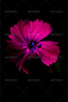 blue violet dianthus sylvestris cariofillacee  ...  april, armenia, august, background, barbatus, black, blue, brown, cariofillacee, close up, dianthus sylvestris, drop, five, flower, flowering, garden, green, grey, italy, june, leaf, light, macro, may, monspessulanum, nature, pattern, petal, pink, pistil, pollen, primulacee, red, september, shadow, spring, stem, superbus, texture, violet