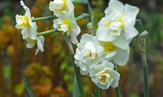 Narcissus Cheerfulness, Daffodil 'Cheerfulness', Double Daffodil 'Cheerfulness', Double Narcissus 'Cheerfulness', Spring Bulbs, Spring Flowers, Double narcissus, Double daffodils, spring flowering bulbs, daffodils, double narcissi, fragrant narcissi
