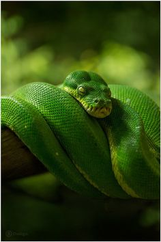 Green Tree Python by Frank Leinz