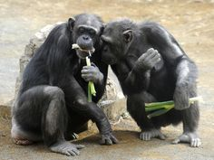 RISE OF THE PLANET OF THE APES...YEA SURE LOL New footage shows chimpanzees engaging in bizarre behaviour — which might be a form of sacred ritual that could show the beginnings of a kind of religious belief.    Chimpanzees in West Africa have been spotted banging and throwing rocks against trees and throwing them into gaps inside, leading to piles of rocks. Those rocks do not appear to be for any functional purpose — and might be an example of an early version of ritual behaviour.