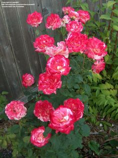Hybrid Tea Rose 'Double Delight' like slightly acidic soil, loam soil, if the flowers are too pink add some lime
