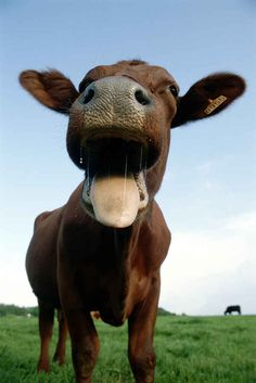 And this cow who simply thinks life is hilarious: