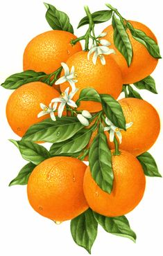 Botanical illustration of an orange branch with eight oranges, leaves and orange blossoms.