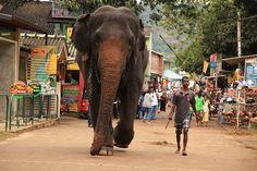 Pinnawala Elephant Orphanage, Sri Lanka (www.secretlanka.com)