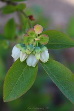 I primi fiori dei nostri mirtilli (Vaccinium L.) ... (Afin)... :)