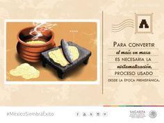 Para convertir el maíz en masa es necesaria la nixtamalización, proceso usado desde la epoca prehispánica.SAGARPA SAGARPAMX #MéxicoSiembraÉxito
