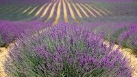 Lavender is one of the most commonly known and widely used herbs and essential oils in the world. The beauty, function and aroma make growing lavender a garden and landscape favorite. French Lavender Fields, Lavender Oil, Lavender Plants, Provence Lavender, Lavender Sachets, Lavender Flowers, Essential Oil Blends, Essential Oils, Lavender Benefits