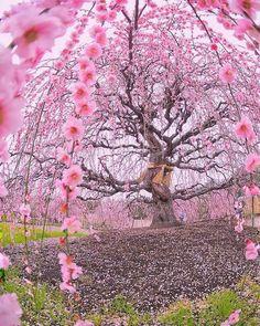 200 years old blossoming Ume plum tree at Suzuka Forest Garden, Japan (by Tatsuya Kurisu) --- Plum Tree, Cherry Tree, Cherry Blossom, Yamagata, Forest Garden, Tree Forest, Pink Forest, Beautiful Gardens, Beautiful Flowers