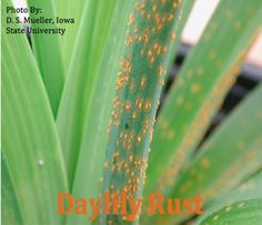 About DAYLILY RUST and how to Control and Prevent  DAYLILY RUST on your Daylily Plants