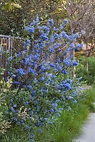 Blue flowering Wild Lilac (Ceanothus 'Ray Hartman') along sidewalk in Southern California garden with drought tolerant native needle grass (Nassella) Landscaping Plants, Front Yard Landscaping, California Native Garden, Southern California, Golden Barrel Cactus, Mixed Border, Drought Tolerant, Native Plants, Blue Flowers
