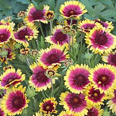 This vibrant Blanket Flower offers lots of long-lasting color. The yellow-fringed blooms have contrasting purple-pink centers that won't fade in summer heat. Plants are compact, well branched, and drought tolerant once established. An excellent choice for the front of a butterfly garden. PP 26,944Gaillardia is a North American genus of showy annuals and perennials grown for their profuse and long-running bloom and their utter indifference to heat and drought. They need well-drained soil a...