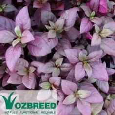 Alternanthera Little Ruby™ Pretty rich burgundy foliage, compact spreading ground cover, thrives in humidity, provides year-round colour. This Ozbreed variety is a smaller, lower-growing, less vigorous alternative to Alternanthera dentata. One of our best-loved and most popular plants. #foliage#purple#compact#